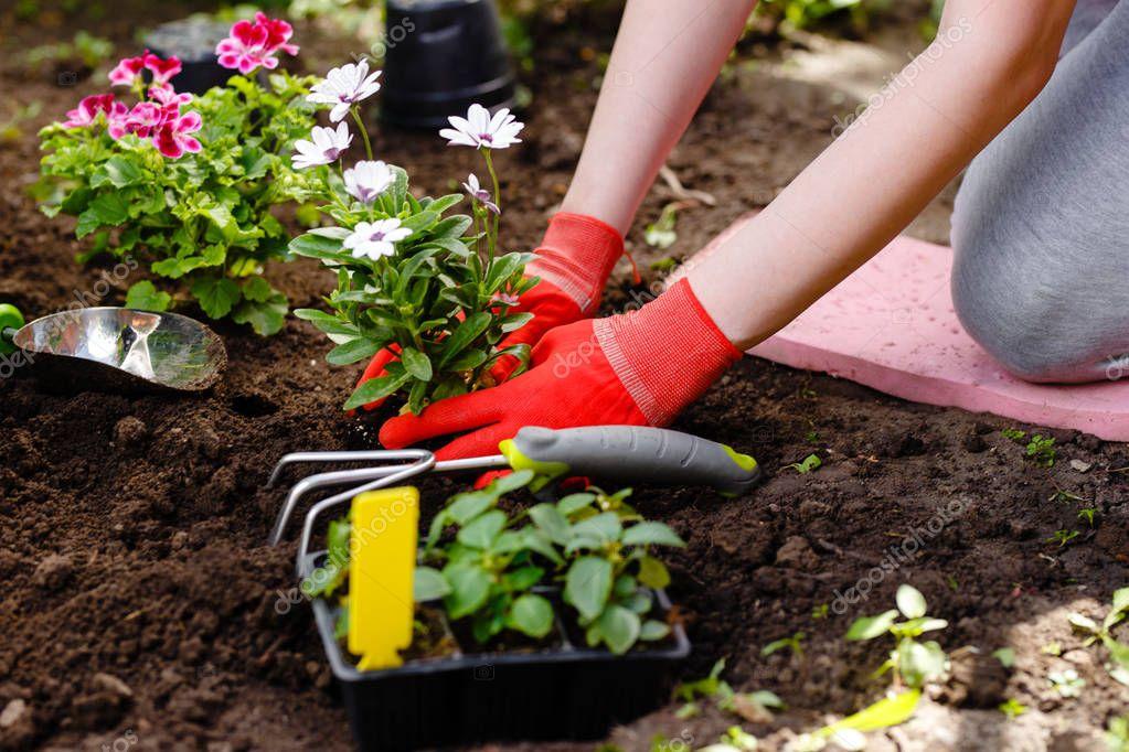 Gardener woman planting flowers in the garden at sunny morning