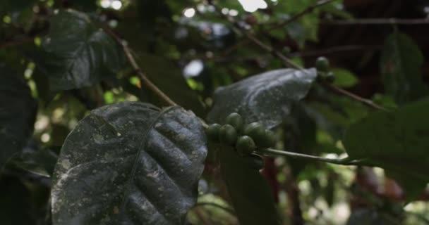 coffee growing on tree in Bali Indonesia