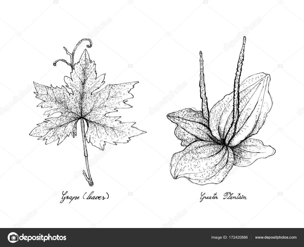 Elle çizilmiş üzüm Yaprağı Ve Büyük Muz Stok Vektör Iamnee