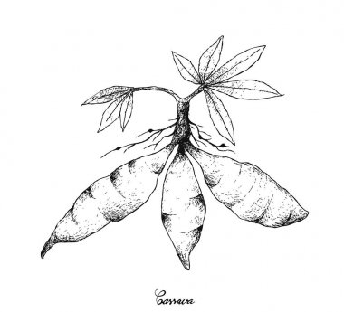 Hand Drawn of Fresh Cassava Root on White Background