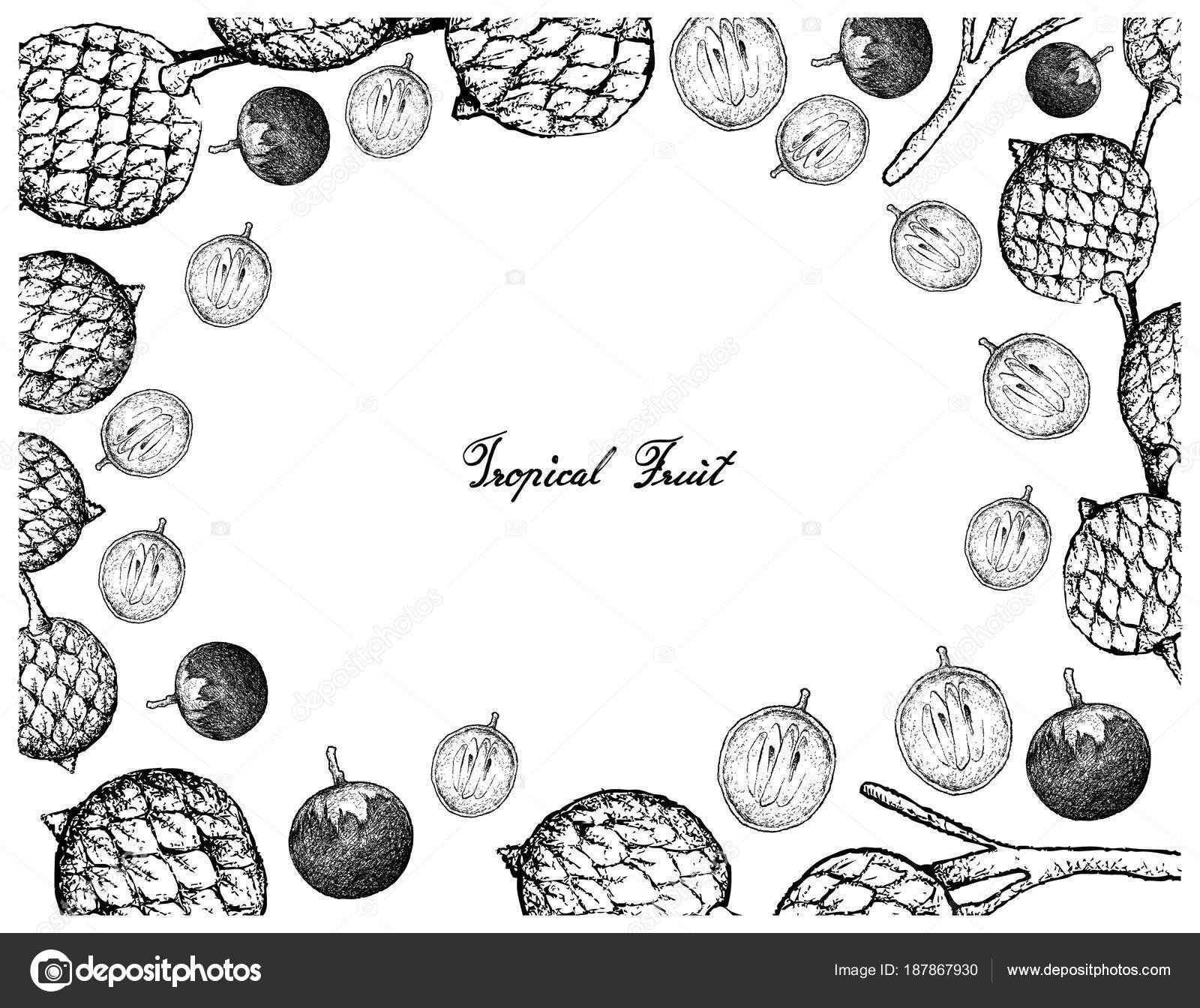 Marco dibujado a mano de Caimito y frutos de rota — Vector de stock ...