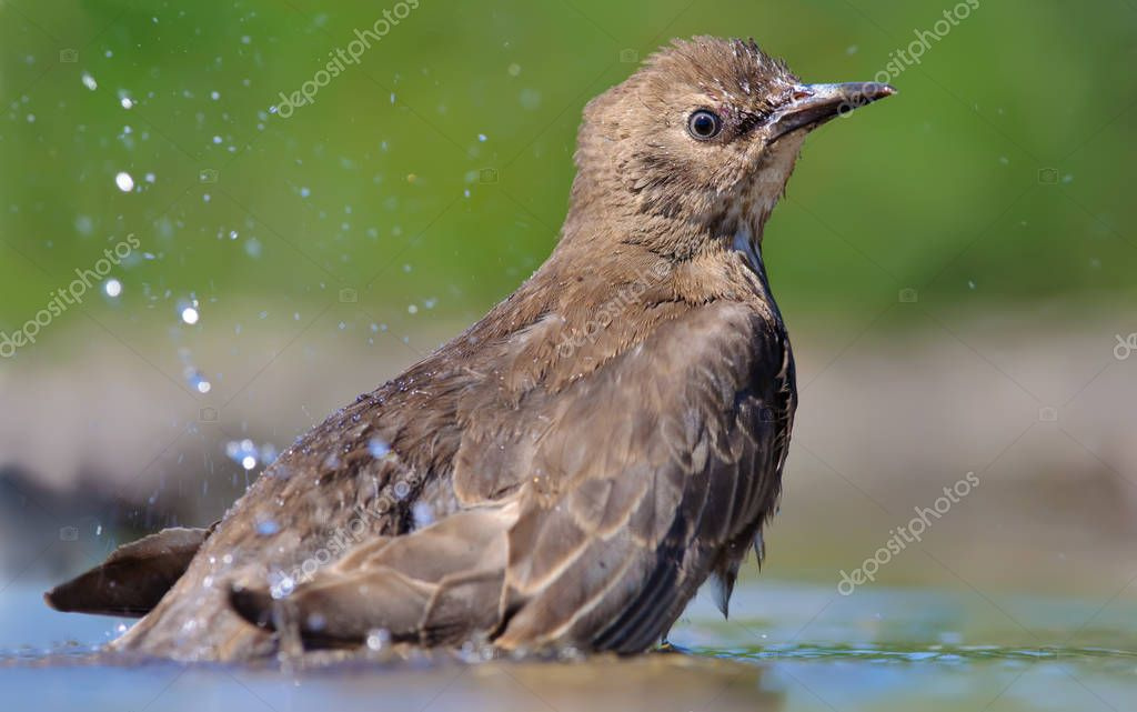 Young Common starling bathing