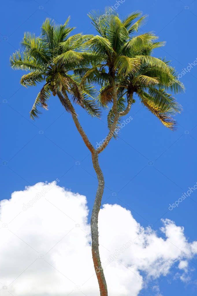 Double-headed coconut tree on Tongatapu island in Tonga