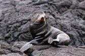 Galapagos kožešiny lachtan na ostrově Santiago, Galapagos národní Pa