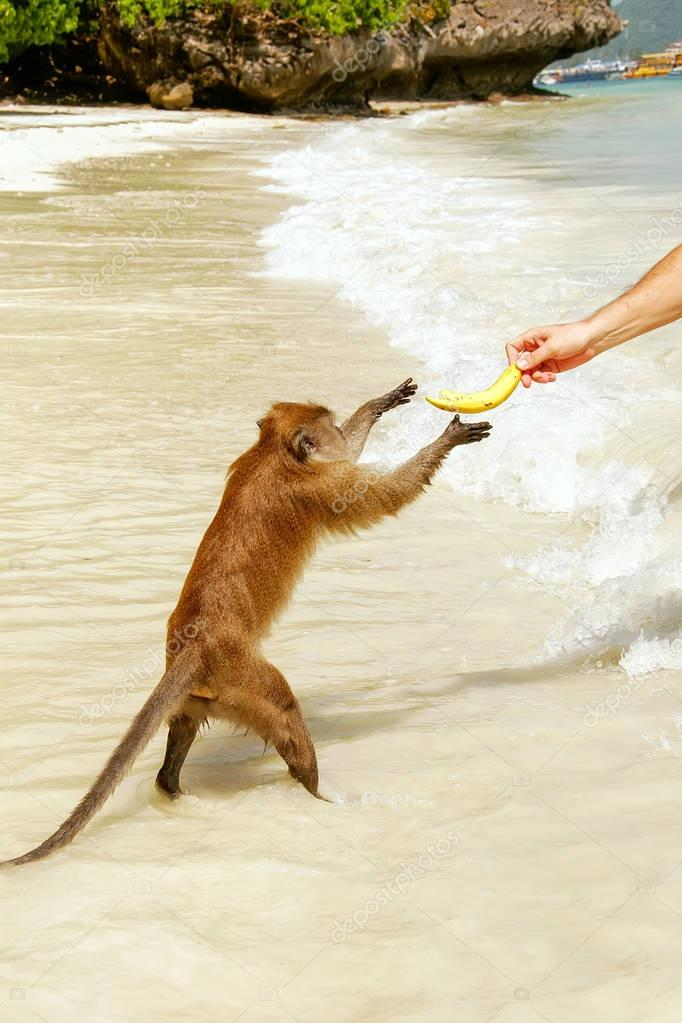 Crab-eating macaque taking banana from tourist at the beach on P