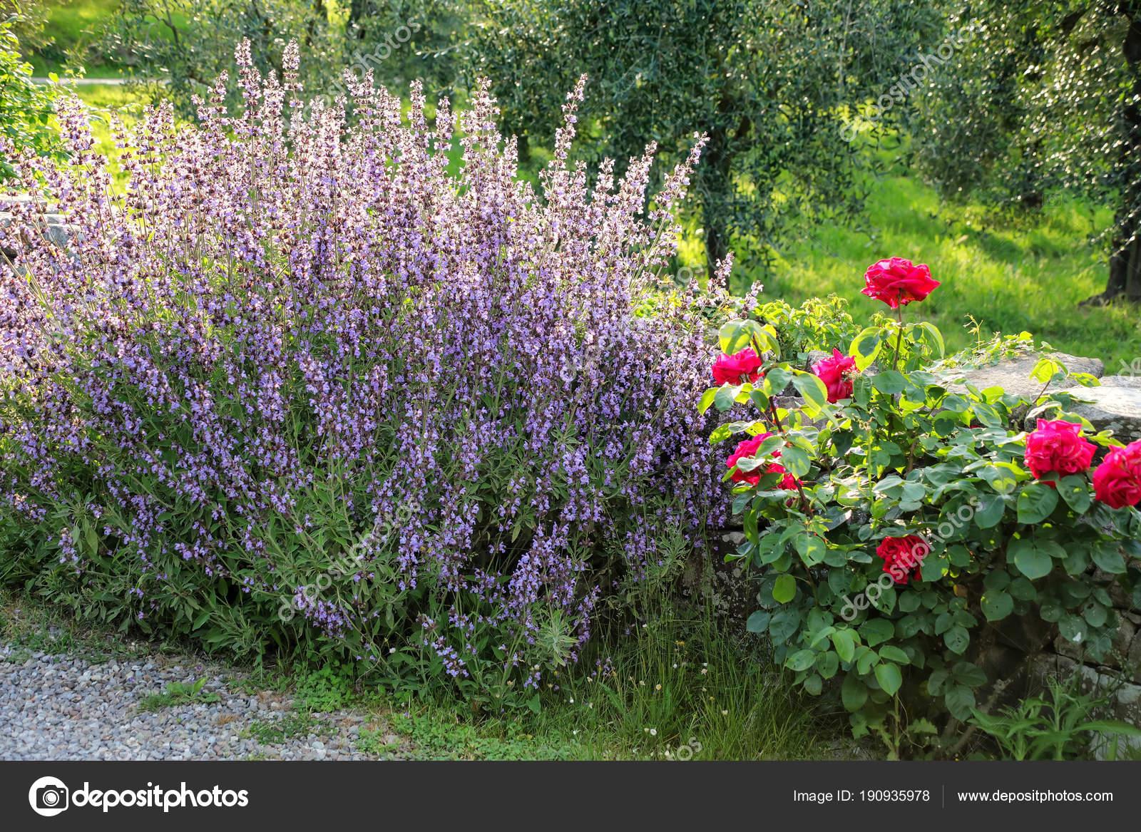 Atemberaubend Lavendel Und Rosen Sträucher Einem Garten Mit Olivenbäumen #QR_17