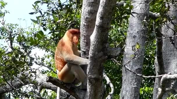 Mužské Proboscis monkey (Nasalis larvatus) sedí na stromě Labuk Bay, Sabah, Borneo, Malajsie. Sosák opice jsou endemické na ostrov Borneo.