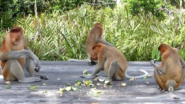 Die Familie der Rüsseltiere isst auf der Futterplattform in Labuk Bay, Sabah, Borneo, Malaysia. Rüsselaffen sind auf der Insel Borneo endemisch.