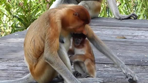 Rüsselweibchen mit einem Baby, das auf der Futterplattform in Labuk Bay, Sabah, Borneo, Malaysia sitzt. Rüsselaffen sind auf der Insel Borneo endemisch.