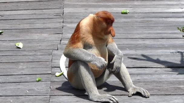 Férfi ormányos majom (Nasalis larvatus) ül etetés platform Labuk Bay, Sabah, Borneo, Malajzia. Ormány majmok endemikus Borneó szigetén.