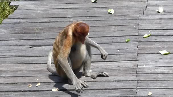 Női ormányos majom (Nasalis larvatus) eszik az etetés platform Labuk Bay, Sabah, Borneo, Malajzia. Ormány majmok endemikus Borneó szigetén.