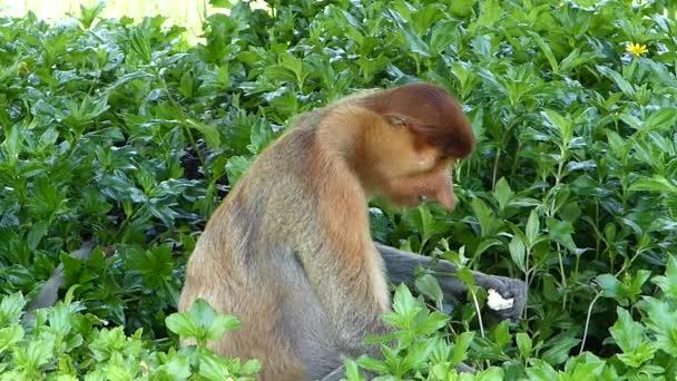Female Proboscis monkey (Nasalis larvatus) eating at Labuk Bay, Sabah, Borneo, Malaysia. Proboscis monkeys are endemic to the island of Borneo.