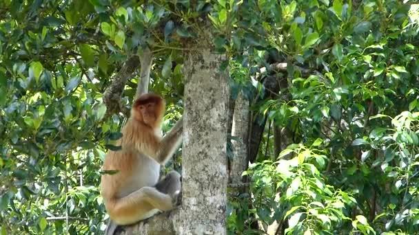 Proboscis majom (Nasalis larvatus) ül egy fán Labuk Bay, Sabah, Borneo, Malajzia. A Proboscis majmok endémiásak Borneo szigetén..