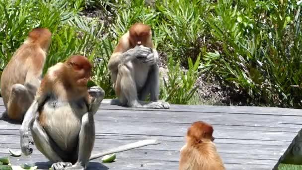 Sosák rodinné skupiny jíst na krmení platformě Labuk Bay, Sabah, Borneo, Malajsie. Sosák opice jsou endemické na ostrov Borneo.