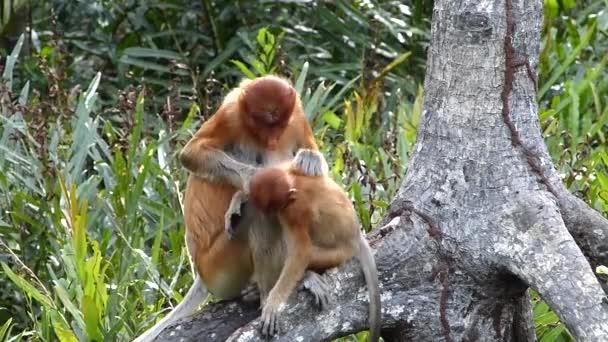 Női ormányos majom (Nasalis larvatus), egy baba, ül egy fa a Labuk Bay, Sabah, Borneo, Malajzia. Ormány majmok endemikus Borneó szigetén.