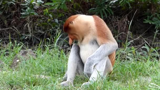 Mužské Proboscis monkey (Nasalis larvatus) sedí v Labuk Bay, Sabah, Borneo, Malajsie. Sosák opice jsou endemické na ostrov Borneo.