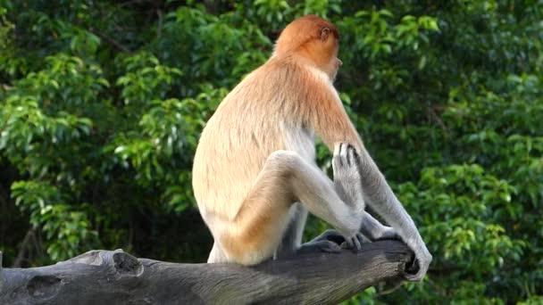 Női ormányos majom (Nasalis larvatus) ül egy fa a Labuk Bay, Sabah, Borneo, Malajzia. Ormány majmok endemikus Borneó szigetén.
