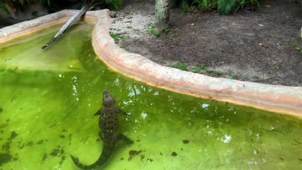 Krokodýl plave v zelené bažinaté vodě. Krokodýl v bazénu v ZOO. Florida, USA
