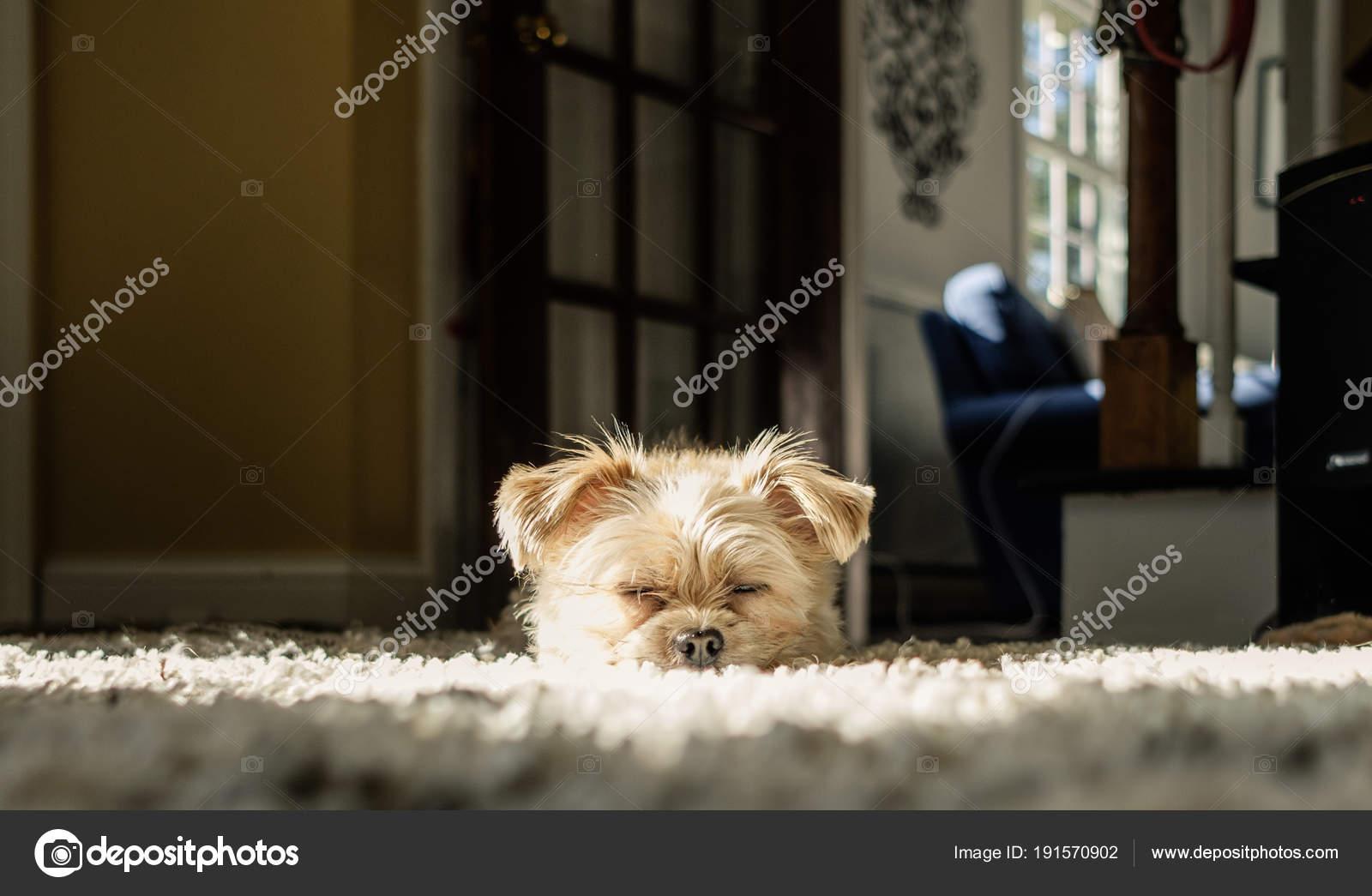 Tappeto Morbido Per Cani : Cucciolo cane sveglio che posa morbido tappeto u foto stock