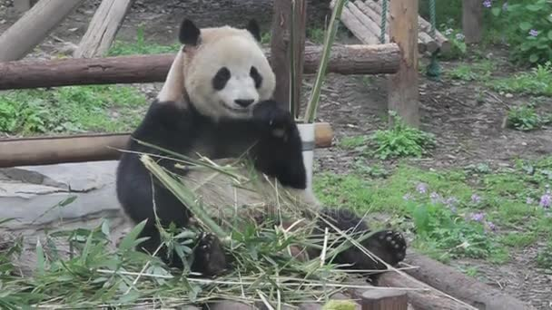 The panda is eating bamboo