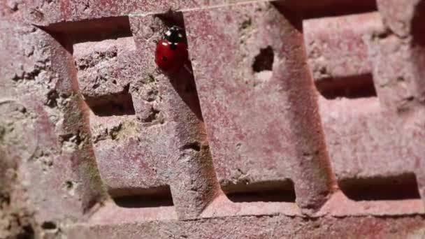 Ladybird Beruška bug hmyzu zeď