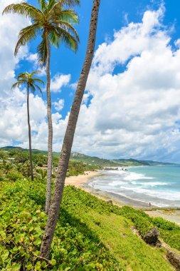 Coastal line with palms and stones on Bathsheba beach, East coast of Barbados island, Caribbean.