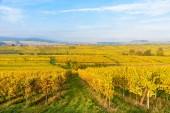 Vinice v Mittelbergheim a Andlau, malá vesnice v Alsasku, region ve východní Francii - Evropa