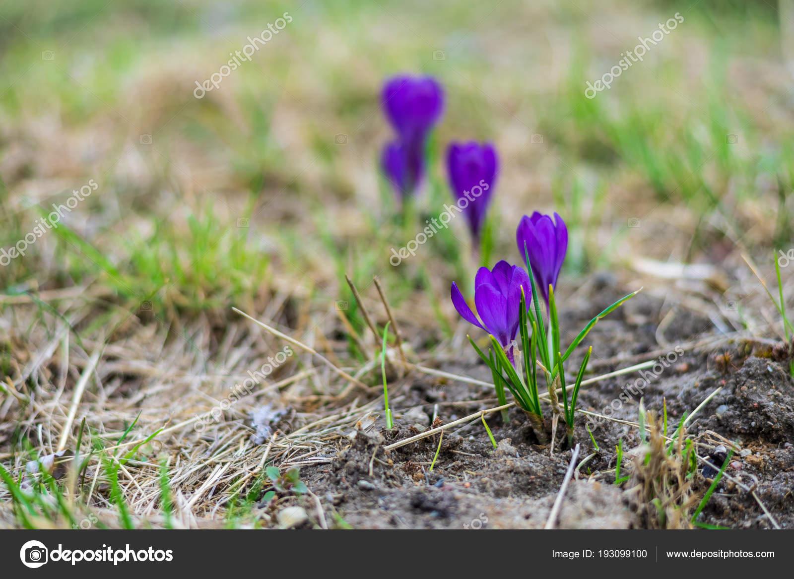 First Spring Flowers Crocus Crocus Sativus Meadow Stock Photo