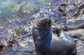 Lachtan hravé štěně ostrova South Plaza v Galapagos