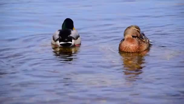 Mallard, Wild Ducks (Anas Platyrhynchos) Swims