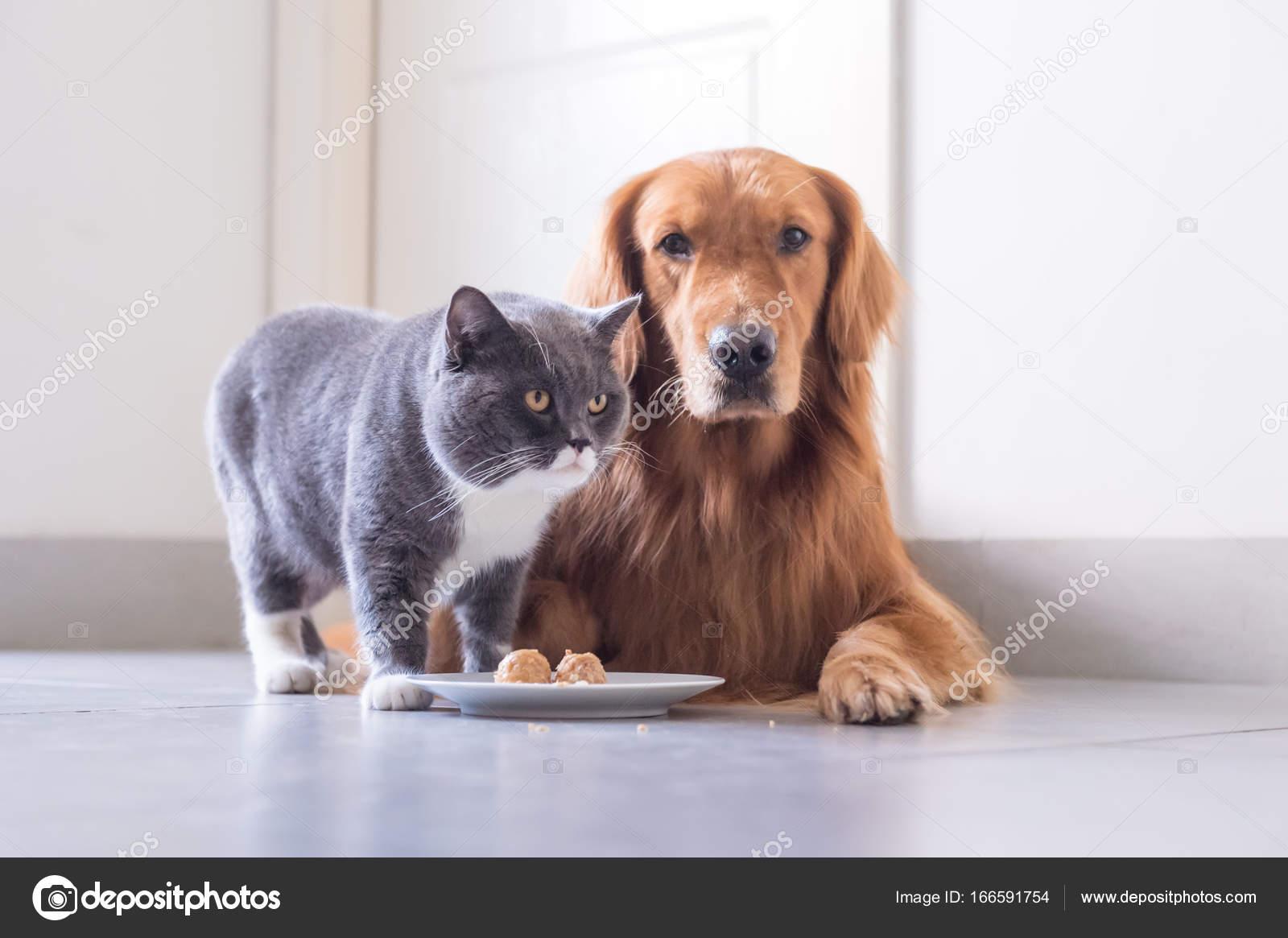 British shorthair cat and Golden Retriever — Stock Photo