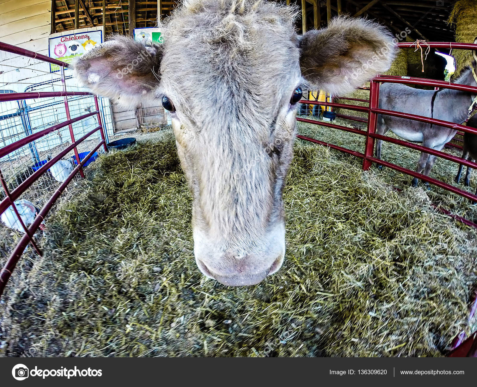 Lustige Kuh Hinter Zaun Auf Dem Bauernhof Stockfoto C Digidream