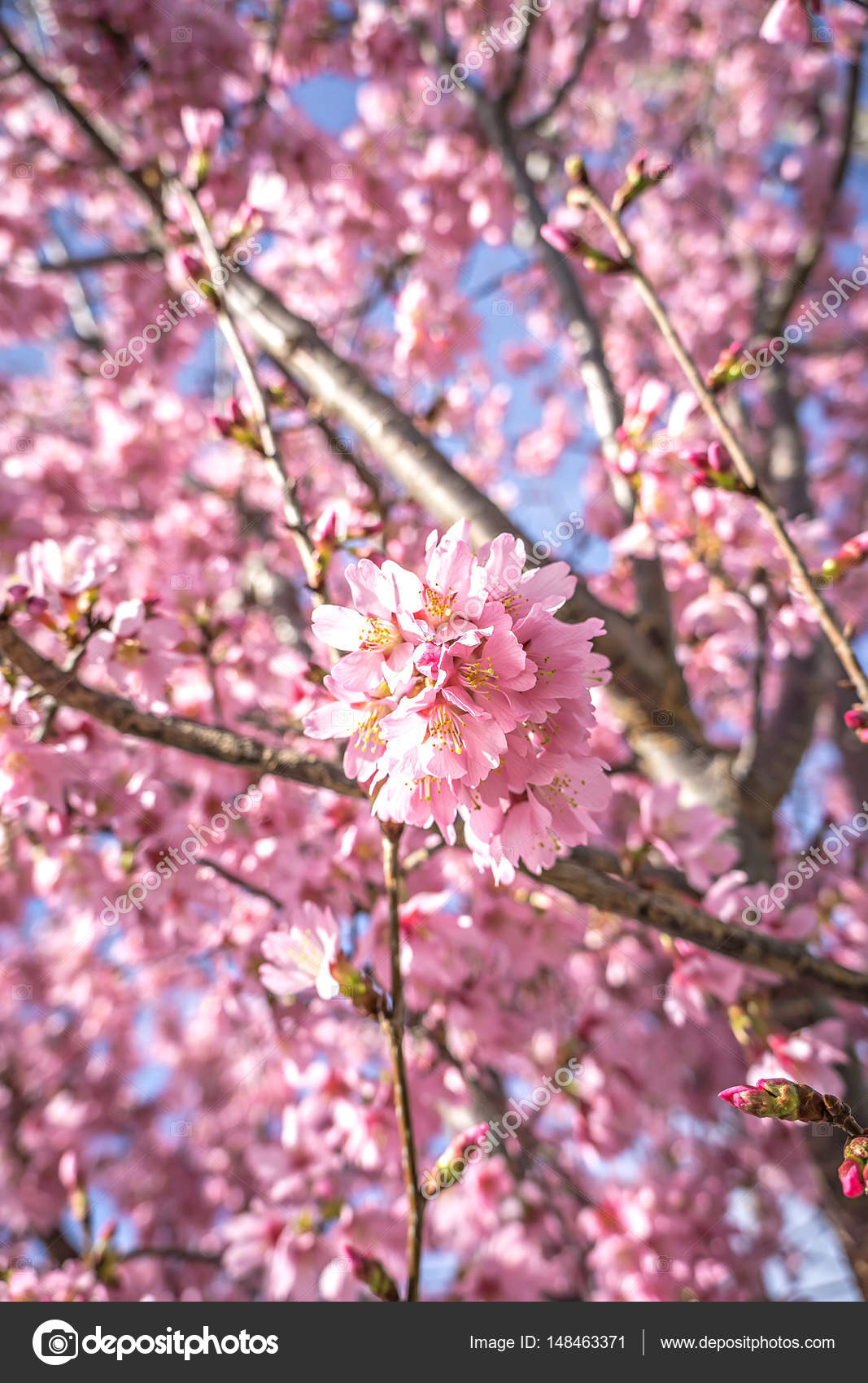 Spring bloom tree with pink flowers stock photo digidream 148463371 spring bloom tree with pink flowers stock photo mightylinksfo
