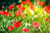 mezei virágok tulipán. Gyönyörű természet jelenet virágzó tulipán napkitörés / Tavaszi virágok. Gyönyörű rét. Tavaszi háttér