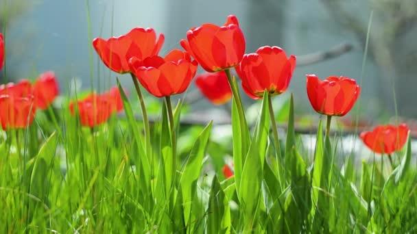 Gyönyörű természet jelenet virágzó tulipán a napkitörés / Gyönyörű rét. Mezei virágok tulipán. Gyönyörű természet jelenet virágzó tulipán a nap