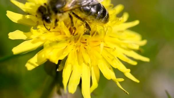 Med Včelí opylení Žlutá Pampeliška / včela sbírá nektar z pampelišky