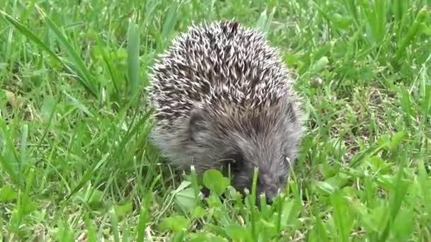 hedgehog grass go animals nature