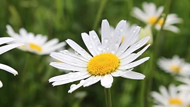 sedmikrásky kvetou květiny