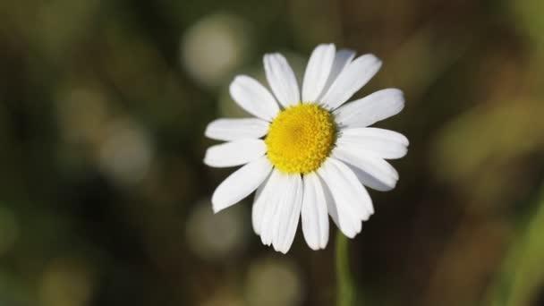 daisy flower one closeup garden