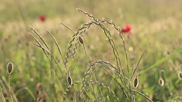 Luční trávy máku bud vítr