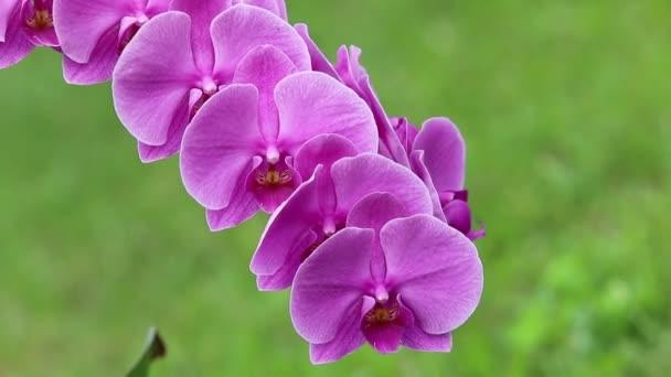jemný růžový orchidej phalaenopsis