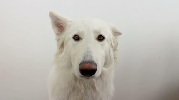 Der weiße Schweizer Schäferhund schaut in die Kamera und ist scheu. der Hund versteht nicht, was er von ihr will