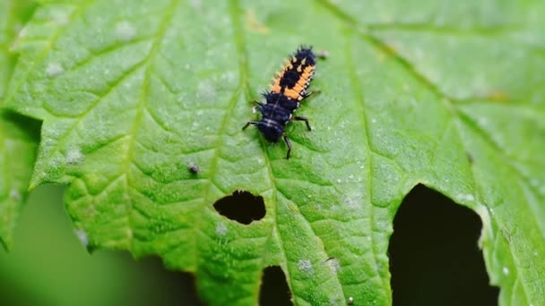 Green leaf in the garden with black and yellow Ladybug (Coccinellidae) insect larva selective focus