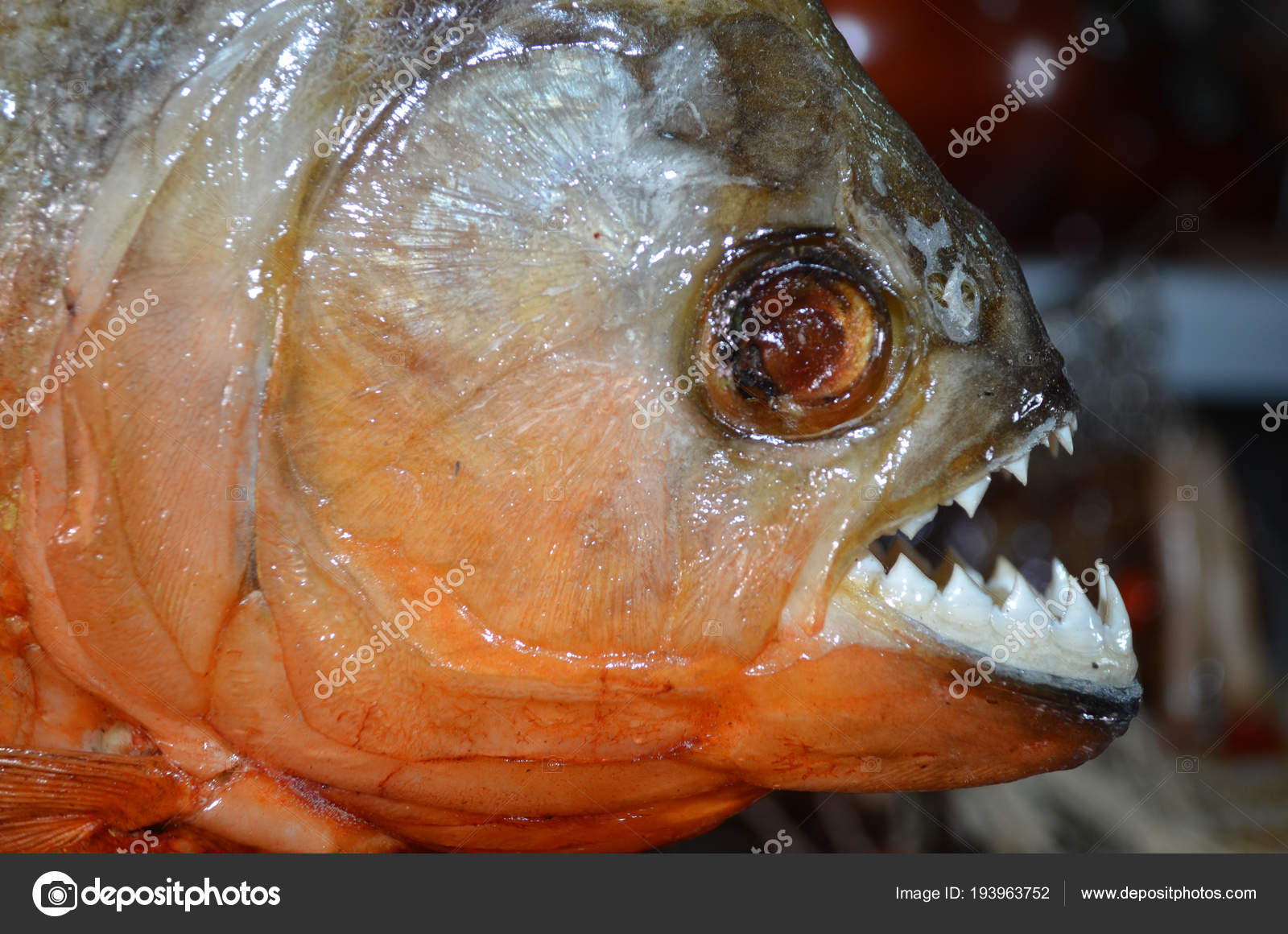 Red Bellied Piranhas Sale Tourist Market Iquitos Peruvian Amazon