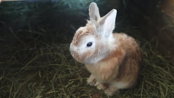 malé hnědé králíček sezení, domácí králík domácí skříň na tmavém pozadí s kopírovacím prostorem
