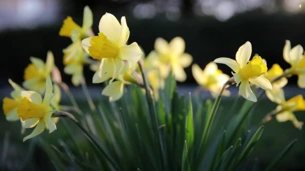 Krásné žluté narcisy květ s čerstvými zelenými listy v jasném světle s tmavým pozadím jarní zahrada video