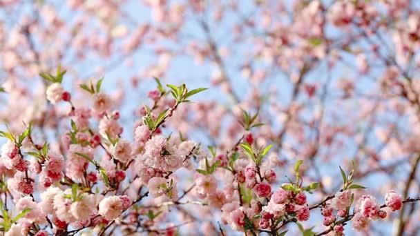 Jarní pozadí Sakura stromu