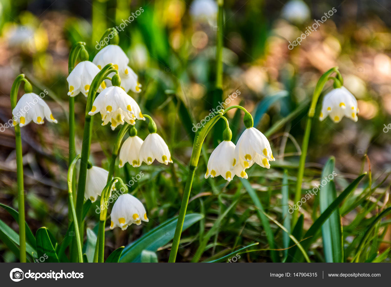 Snowflake First Flowers Of Spring Stock Photo Pellinni 147904315
