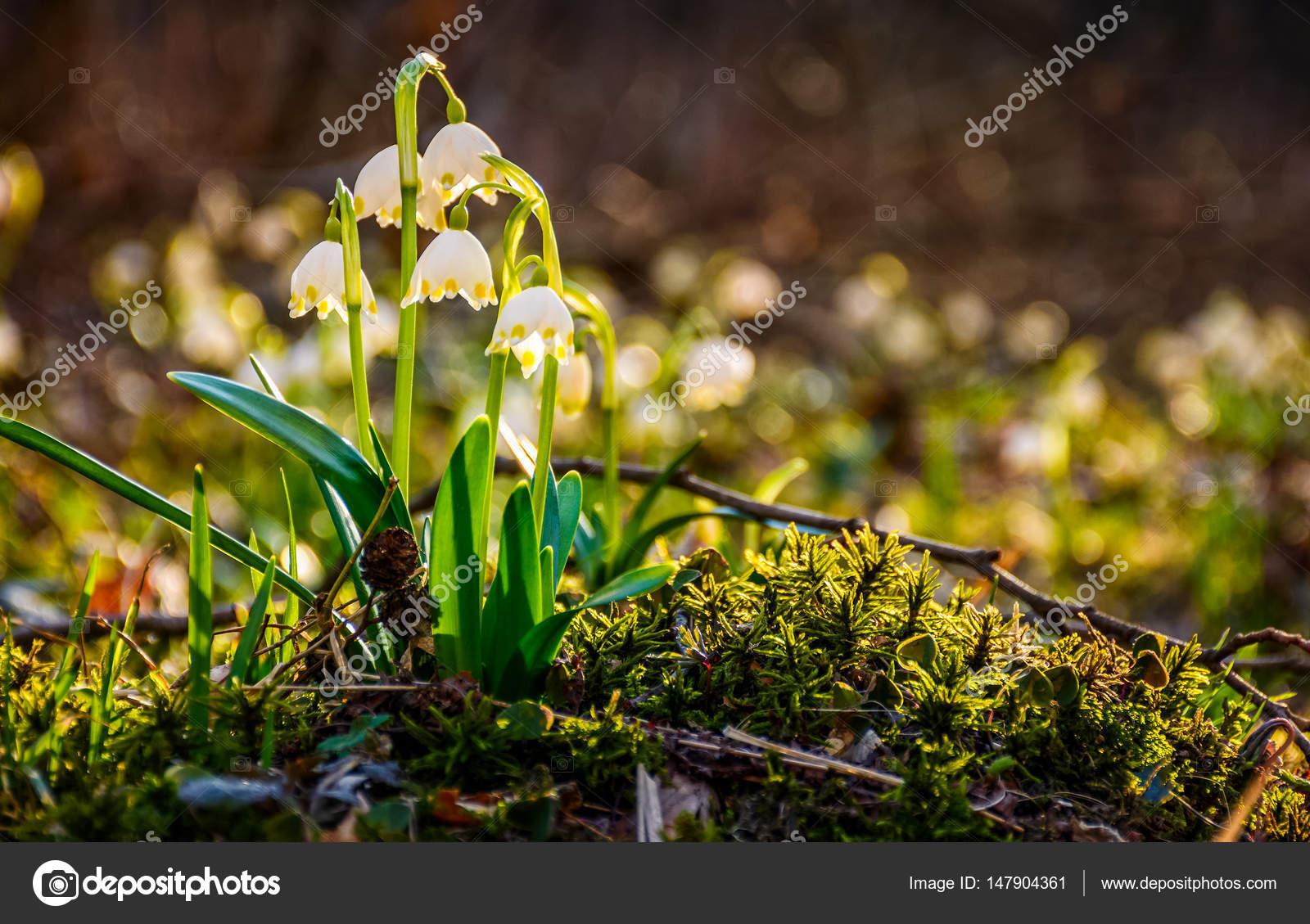 Schneeflocke Erste Blumen Des Fruhlings Stockfoto C Pellinni