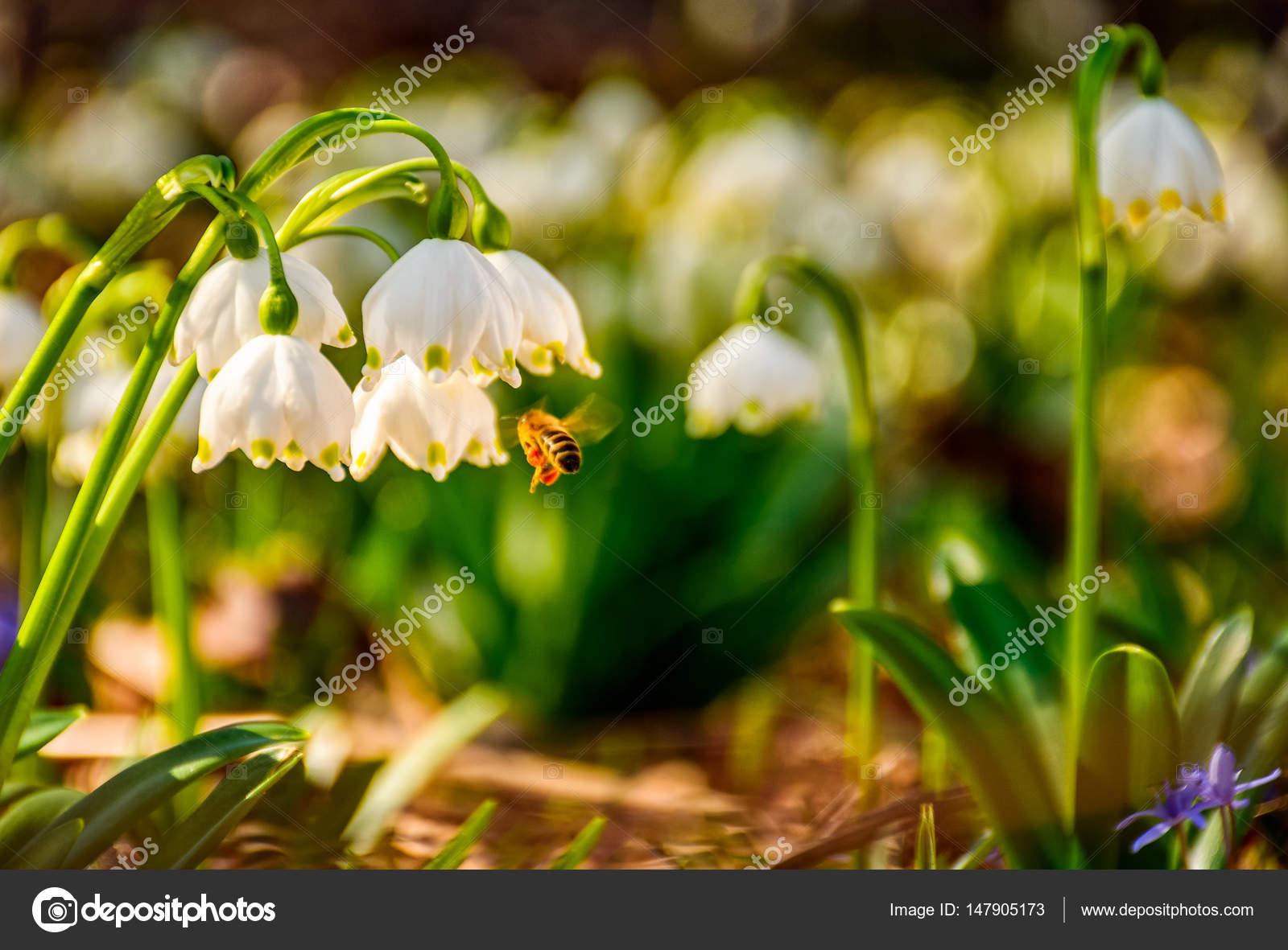 Bienen Sammeln Pollen Von Schneeflocke Erste Blumen Des Fruhlings